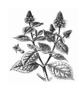 patchouli-herb jpg